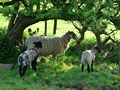 >Ewe and Lambs in the Shade by Rod Johnson