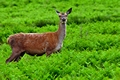 >Female Fallow Deer in Bradgate Country Park by Rod Johnson