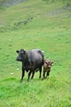 >Cow with Calf on Thorpe Hillside by Rod Johnson
