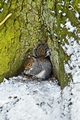 >Grey Squirrel with its Food Store by Rod Johnson