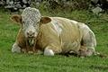 >Bull Close-up, at Wardlow by Rod Johnson
