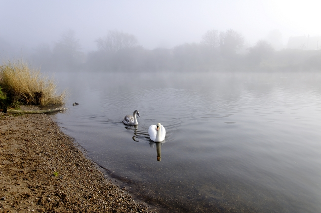 Mute Swan and Cygnet on the Misty River by Rod Johnson
