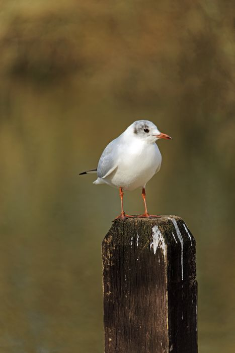 Black-Headed Gull on a Fence Post by Rod Johnson