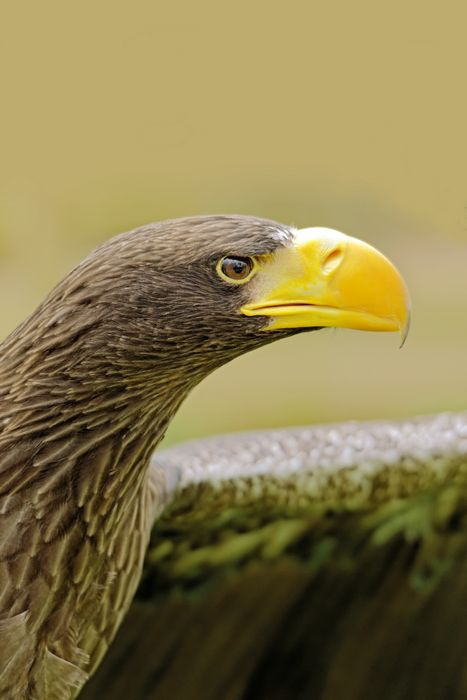 Steller's Sea Eagle (Haliaeetus pelagicus) by Rod Johnson