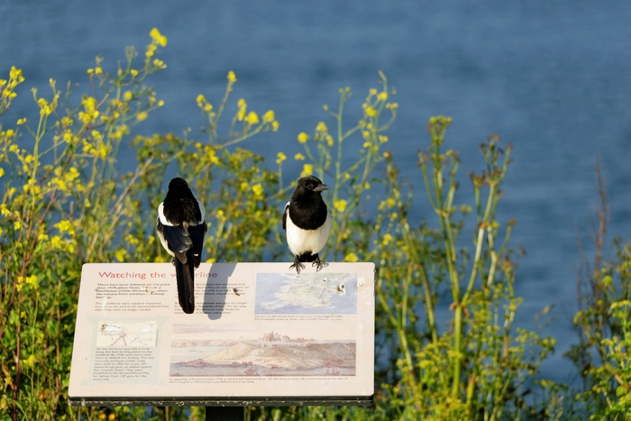 Magpies Keeping Watch, Pendennis Point by Rod Johnson