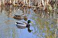 >Pair of Mallard Ducks by Rod Johnson
