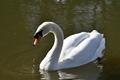 >Mute Swan on Rolleston Pond by Rod Johnson