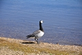 >Barnacle Goose at Carsington Water by Rod Johnson