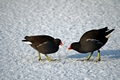 >Moorhens on the Ice and Snow Rod Johnson