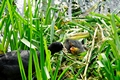 >Adult Coot Feeding a Young Chick by Rod Johnson