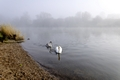 >Mute Swan and Cygnet on the Misty River by Rod Johnson