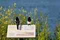 >Magpies Keeping Watch, Pendennis Point by Rod Johnson