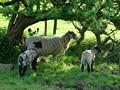 >Ewe and Lambs in the Shade Rod Johnson