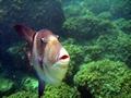 >Triggerfish by Rod Johnson
