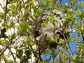 >Wasps' Nest in a Lilac tree by Rod Johnson