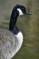 >Canada Goose Portrait Rod Johnson