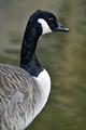 >Canada Goose Portrait Rod Johnson