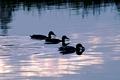 >Mallard Ducks at Dusk by Rod Johnson
