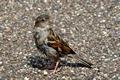 >House Sparrow Portrait Rod Johnson