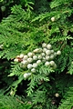 >Lawson Cypress, Young Seed Cones Rod Johnson
