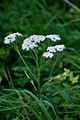 >Yarrow Flower Heads by Rod Johnson