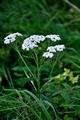 >Yarrow Flower Heads by Rod Johnson