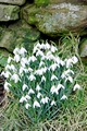 >Snowdrops by the Wall by Rod Johnson