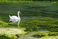 >Swan on the River Lathkill by Rod Johnson