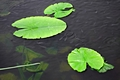 >Baby Fish Swimming Around the Lily Pads by Rod Johnson