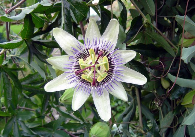 >Passion Flower by Rod Johnson