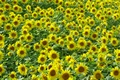 >Sunflowers by Rod Johnson