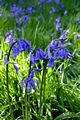 >Bluebell Cluster by Rod Johnson