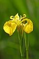 >Yellow Iris, (Iris pseudacorus) by Rod Johnson