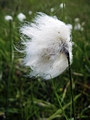 >Common Cottongrass Seed-head by Rod Johnson