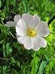 >Burnet Rose, (Rosa pimpinellifolia) by Rod Johnson