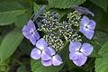 >Hydrangea macrophylla 'Blue Wave' by Rod Johnson