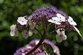 >Hydrangea macrophylla Close-up by Rod Johnson