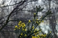 >Common Gorse in the Woodland by Rod Johnson