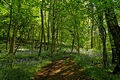 >Bee Wood, Bluebells by Rod Johnson