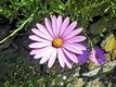 >Osteospermum - African Daisy, Pink by Rod Johnson