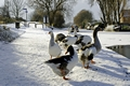 >Geese at the Frozen Horninglow Basin by Rod Johnson