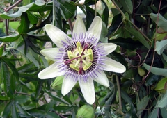 A close-up view of a Passion Flower. Link to the Plant Life Gallery.