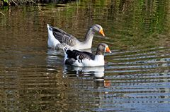 A pair of geese on the Trent and Mersey Canal at Stretton near Burton on Trent, Staffordshire, England. Link to Birds Gallery.