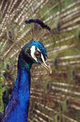 Close-up view of a male Peacock. Link to Nature Gallery.
